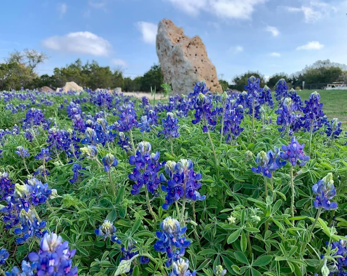 Summit Estates at Fischer blue flower