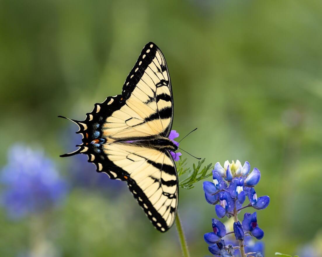 Summit Estates at Fischer butterfly