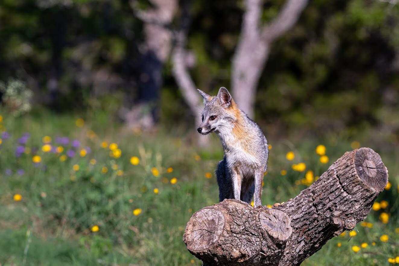 Summit Estates at Fischer fox